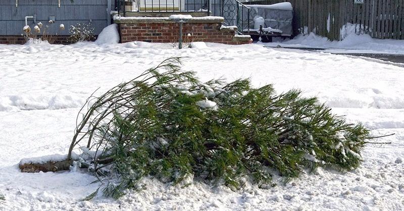 Negyven tonna karácsonyfa válik hővé Pécsen